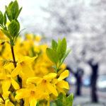 2017ソウルの春の開花予想